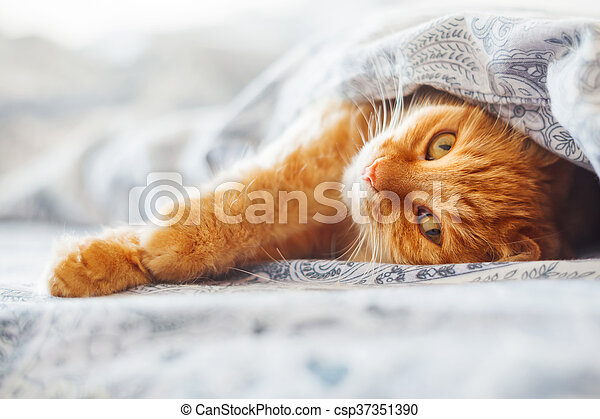 Cute ginger cat lying in bed under a blanket. Fluffy pet comfortably settled to sleep. Cozy home background with funny pet. - csp37351390