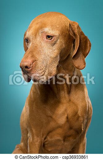cute golden colour pure breed vizsla dog portrait - csp36933861