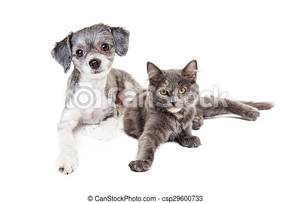Cute Grey Kitten And Puppy Laying Together An Adorable Little Havanese Mixed Breed Dog And A Grey Color Cat Laying Down
