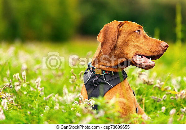 Cute happy smiling vizsla puppy enjoying walk through meadow full of flowers. Happy dog portrait outdoors. - csp73609655