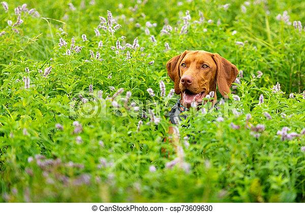 Cute happy smiling vizsla puppy enjoying walk through meadow full of flowers. Happy dog portrait outdoors. - csp73609630