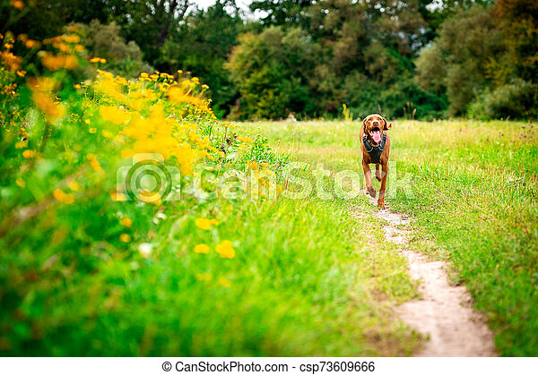 Cute happy vizsla puppy running through meadow full of flowers. Happy dog portrait outdoors. - csp73609666