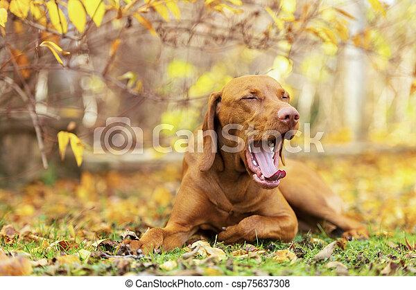Cute hungarian vizsla puppy in beautiful autumn garden. Tired vizsla pointer dog lying down outside, yawning. - csp75637308