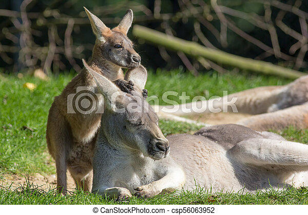 Cute joey animal image  Baby kangaroo holding onto mother