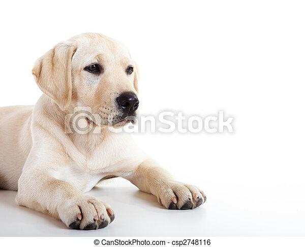 Cute labrador dog - csp2748116