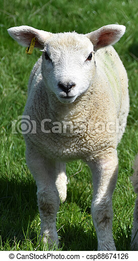 Cute Lamb Playing in a Grass Field - csp88674126