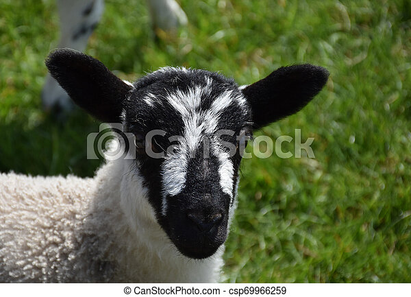 Cute Lamb with Black and White Speckled Face - csp69966259