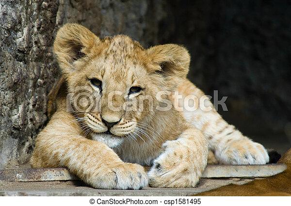cute lion cub - csp1581495