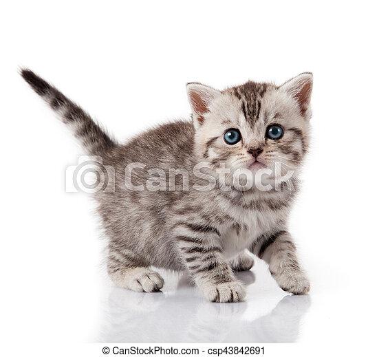 Cute little kitten. kitten with blue eyes. Kitten on a white background - csp43842691