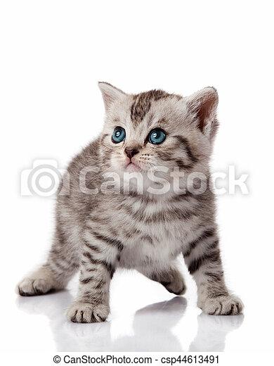 Cute little kitten. kitten with blue eyes. Kitten on a white background - csp44613491