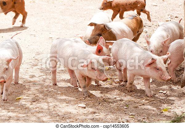 cute little pig piglet outdoor in summer  - csp14553605