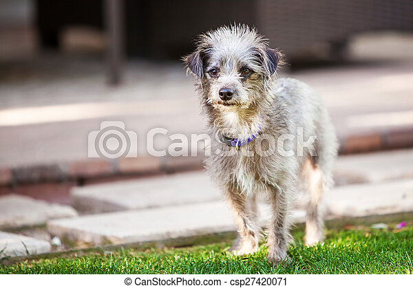 Cute Little Terrier Crossbreed Dog Outside - csp27420071