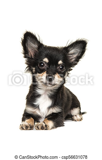 Cute Long Haired Chihuahua Puppy Dog Lying Down Isolated On A White Background Facing The Camera
