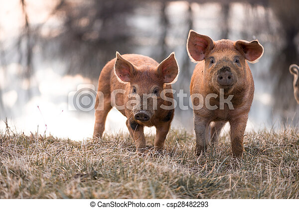 Cute mangalitsa pigs - csp28482293