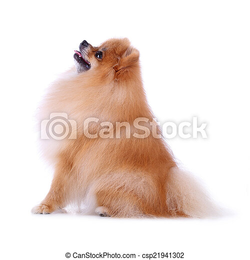 cute pet, brown pomeranian grooming dog isolated on white backgr - csp21941302