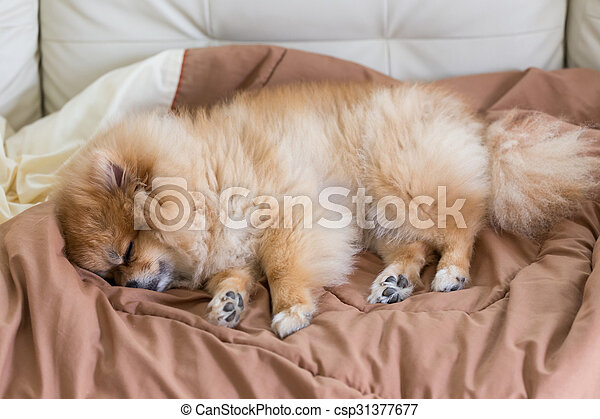 cute pet in house, pomeranian dog sleeping on the bed at home - csp31377677
