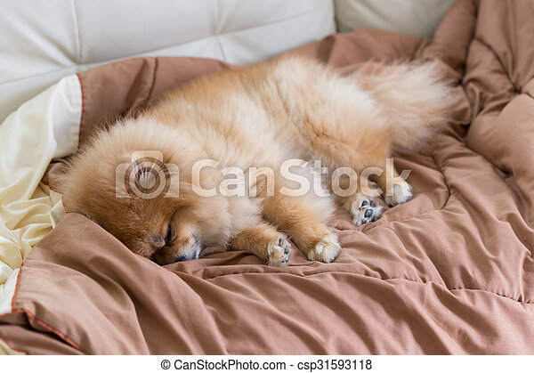cute pet in house, pomeranian dog sleeping on the bed at home - csp31593118