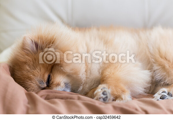 cute pet in house, pomeranian dog sleeping on the bed at home - csp32459642