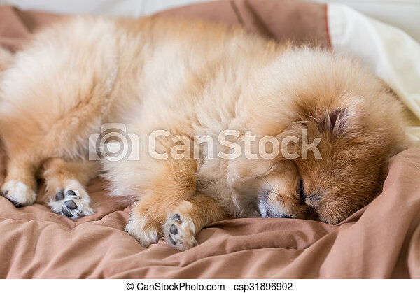 cute pet in house, pomeranian dog sleeping on the bed at home - csp31896902
