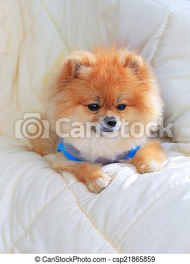 cute pet in house, pomeranian grooming dog wear clothes on bed a - csp21865859