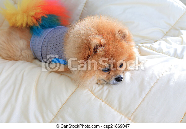 cute pet in house, pomeranian grooming dog wear clothes on bed a - csp21869047