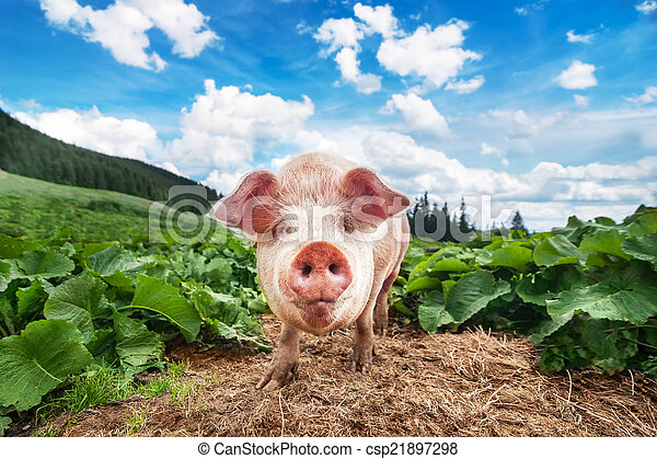 Cute pig grazing at summer meadow at mountains pasturage - csp21897298