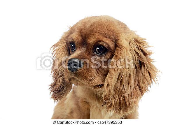 cute puppy Cavalier King Charles Spaniel in studio - csp47395353