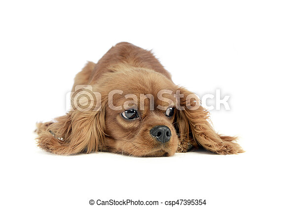 cute puppy Cavalier King Charles Spaniel lying and looking sideways in a white studio - csp47395354