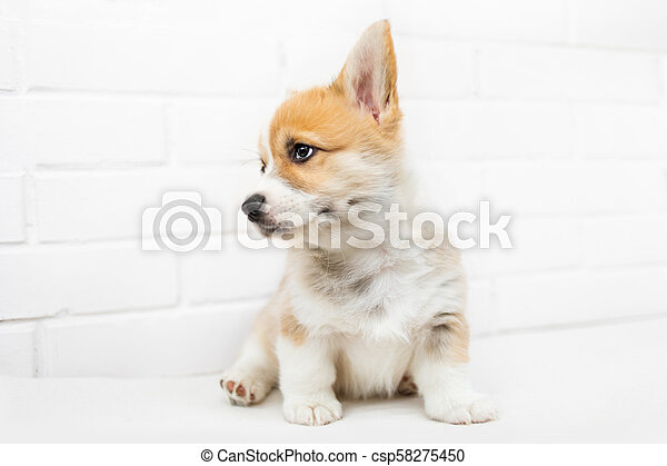 Cute Puppy Corgi Pembroke Looking Up Beautiful Small Welsh Puppy