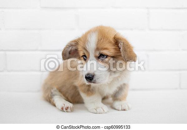 Cute Puppy Welsh Corgi Pembroke On A White Background Portrait Of