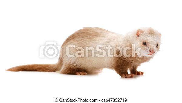 Cute red ferret - csp47352719