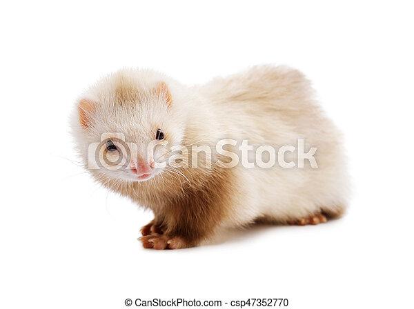 Cute red ferret - csp47352770