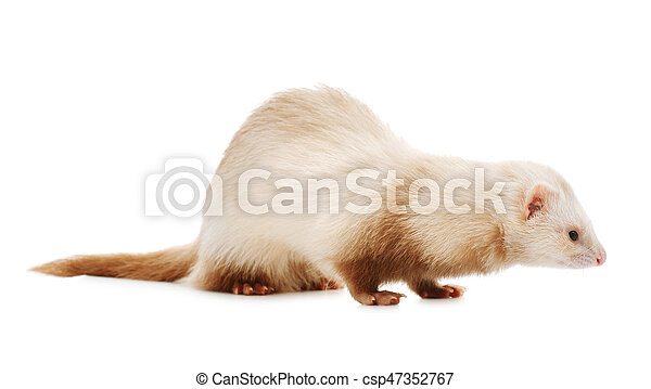 Cute red ferret - csp47352767