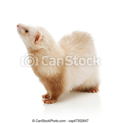 Cute red ferret - csp47352647