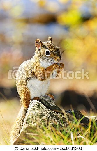 Cute red squirrel eating nut - csp8031308