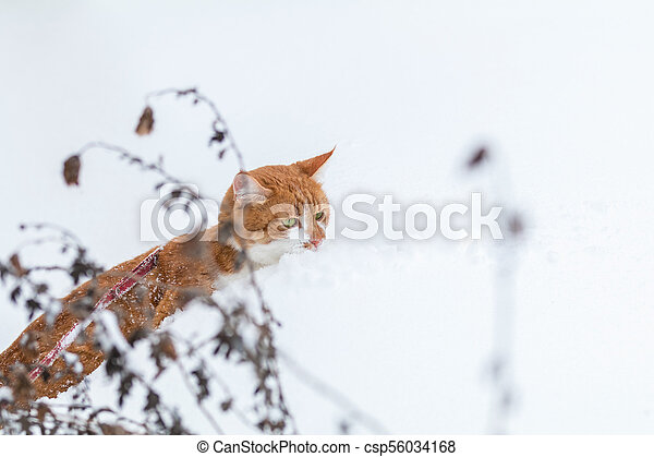 Cute red-white cat playing on white snow surface - csp56034168