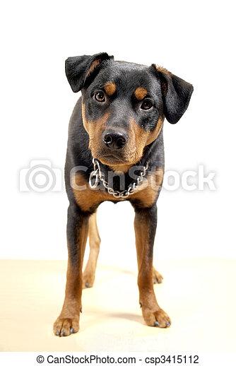 cute rottweiler pincher portrait of 10 mounth old rottweiler