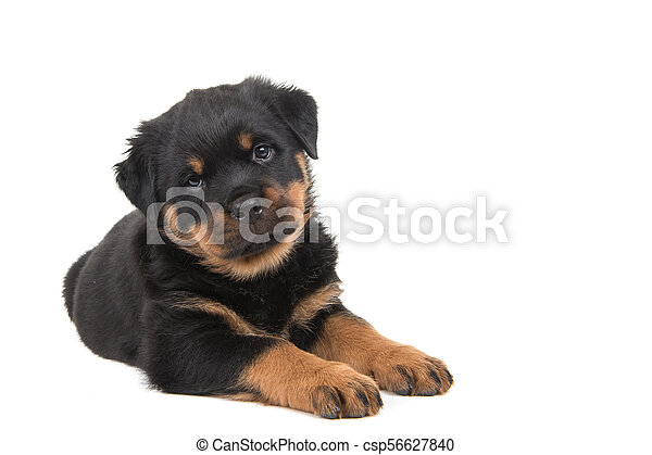 Cute Rottweiler Puppy Lying Down And Looking In The Camera Isolated