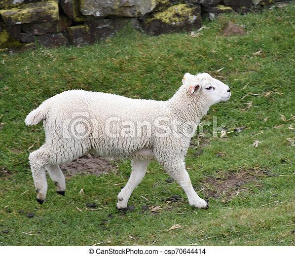 Cute Running White Lamb in a Grass Field - csp70644414