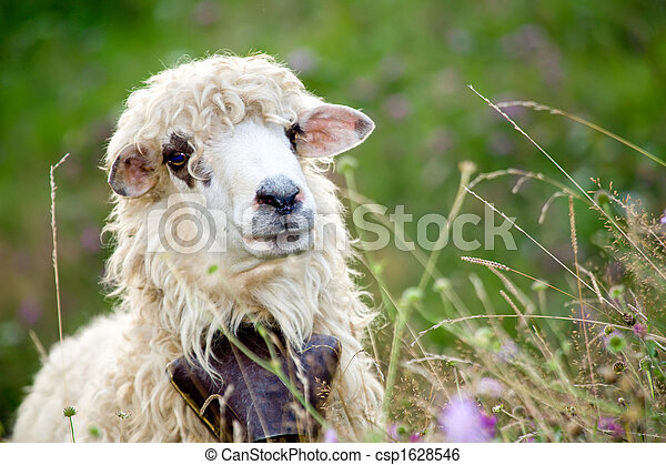 cute sheep in meadow - csp1628546