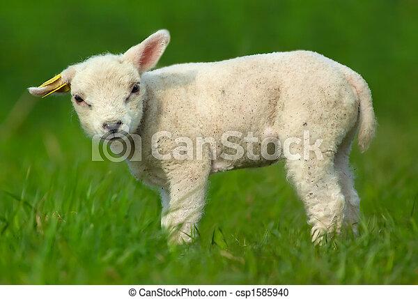 Cute sheep - csp1585940