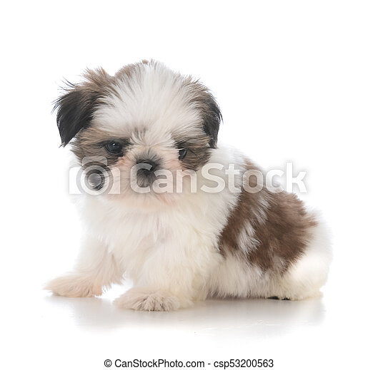 Cute Shih Tzu Puppy Sitting Isolated On White Background