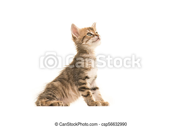 Cute Sitting Tabby Turkish Angora Baby Cat Looking Up Isolated On A