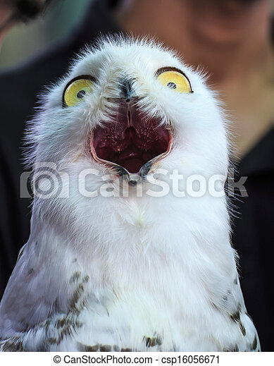 Image of: Glasses Cute Snowy Owl Csp16056671 Can Stock Photo Cute Snowy Owl Bird