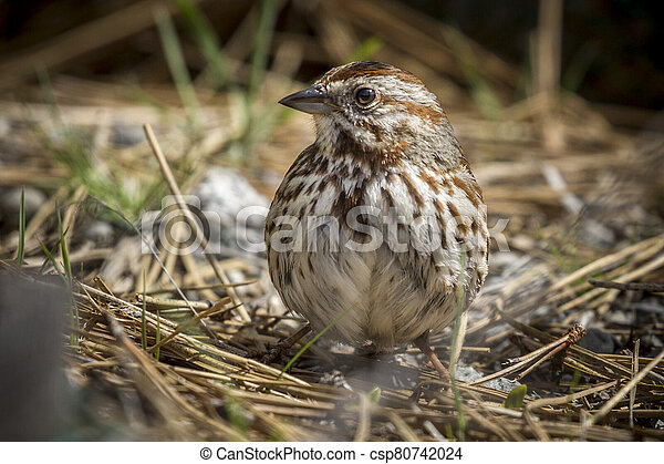 Cute song sparrow on the ground. - csp80742024