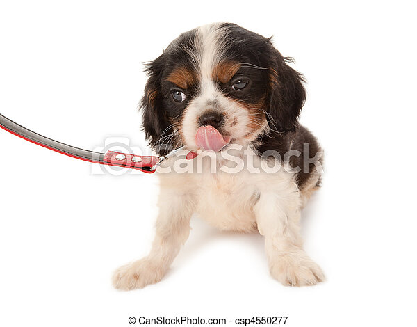 Cute spaniel on a leash - csp4550277