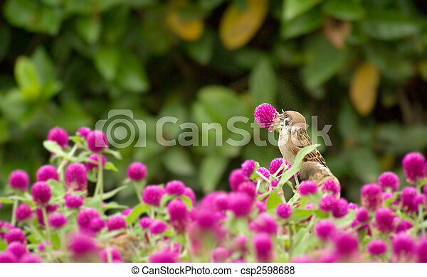 cute sparrow stand on the beautiful purple flowers - csp2598688