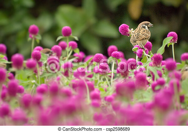 cute sparrow stand on the beautiful purple flowers - csp2598689