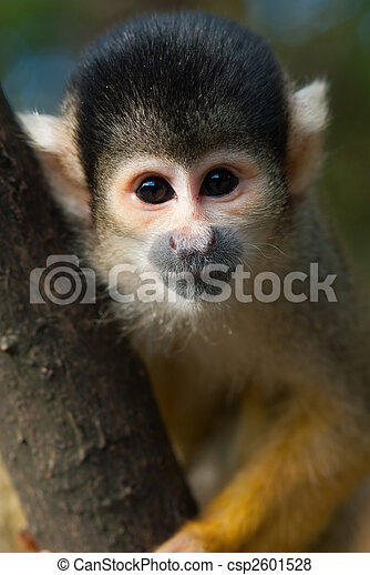 cute squirrel monkey - csp2601528
