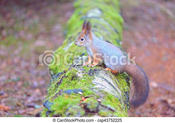 Cute squirrel standing on a log. Gray winter fur. - csp43752225